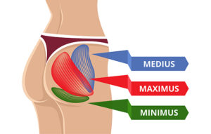 Diagram of gluteal muscles showing the maximus, medius and minimus